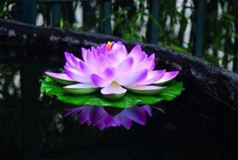 De lotusbloem: uit modder komt zuiverheid